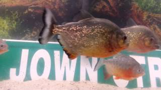 3 Pacu with The red bellied Piranhas