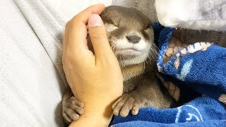 Putting a pampered otter to bed. #Shorts