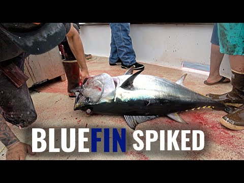 Bluefin Tuna Landed And SPIKED! | Bloodydecks