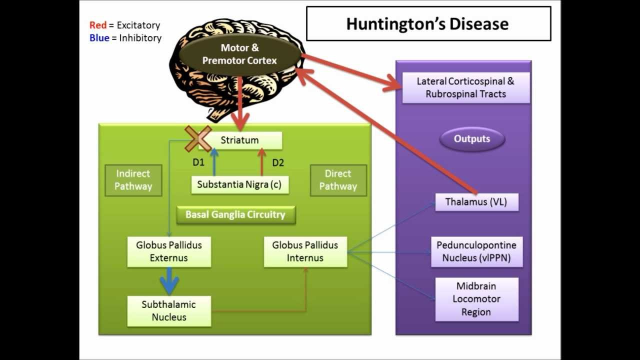 Tolle Anatomy And Physiology Of Huntingtons Disease Fotos ...