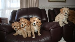 Cavoodle puppies for sale and 8 Week old puppies playing with their Mum