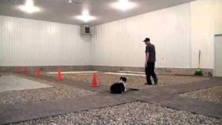 Australian Shepherd Ozzie - Boot Camp Dog Training Level Ii.