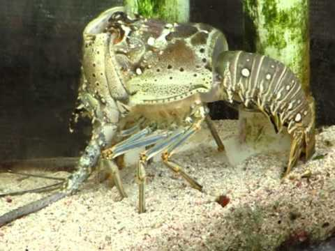 Caribbean Spiny Lobster Molting - YouTube