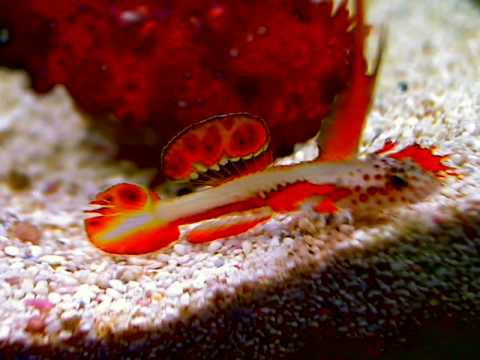 Flaming prawn goby new vids youtube for Dragon fish goby