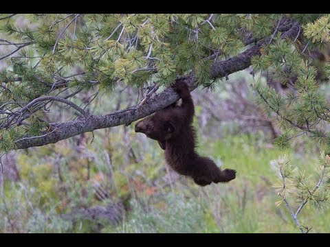 Yellowstone: black bear cubs playing in and falling out tree!