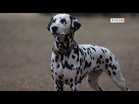 Собаки породы далматин
