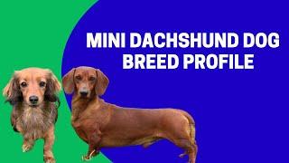 Mini Dachshund Dog Breed Profile