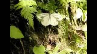 昆虫大冒険 スジグロシロチョウ  鮭川村