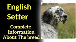 English Setter. Pros and Cons, Price, How to choose, Facts, Care, History