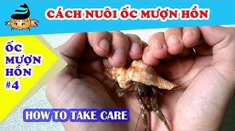 Ốc mượn hồn #4 - Cách nuôi ốc mượn hồn (Hermit crab #4 - How to take care of hermit crabs)