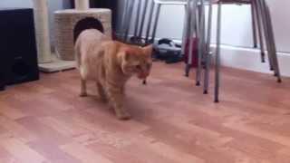 腹ペコ猫、ごはんのために慎重な足さばき
