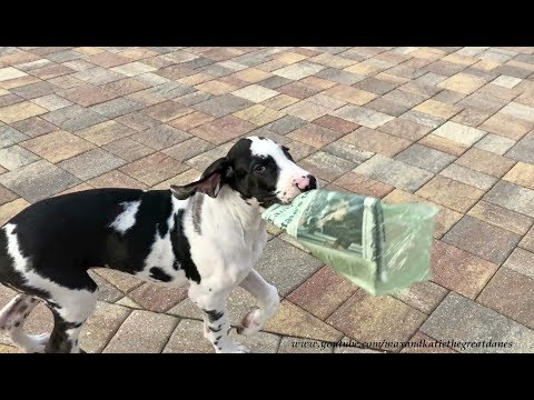 Happy Great Dane Puppy Learns How to Delivery The Newspaper