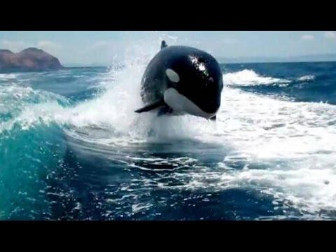 ORCAS CAZANDO PESCADORES