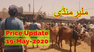Malir Cattle Mandi Latest Update 19 May 2020 - Cattle Prices
