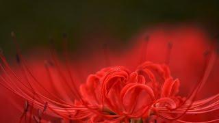 2016京都大原の里の彼岸花 Red Spider Lily of Kyoto Ohara