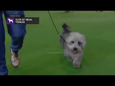Glen of Imaal Terriers | Breed Judging 2019