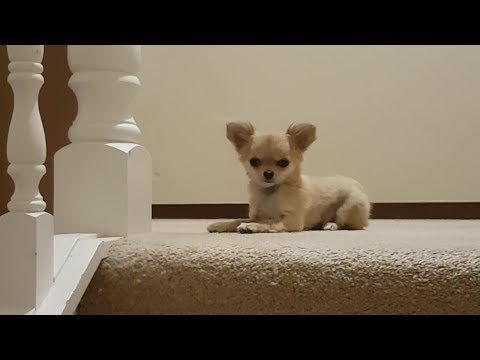 cute puppy greeting the owner but scared of the stairs