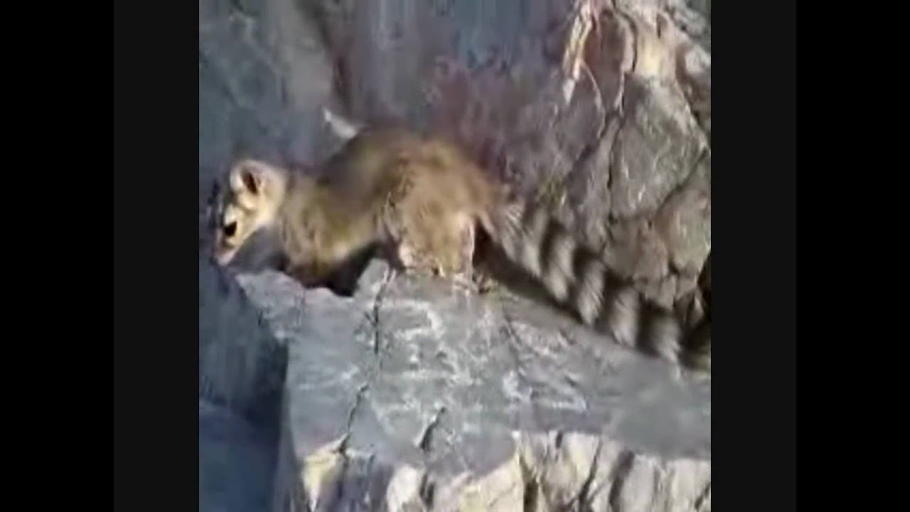 Mammals of the World: Ring-tailed Cat