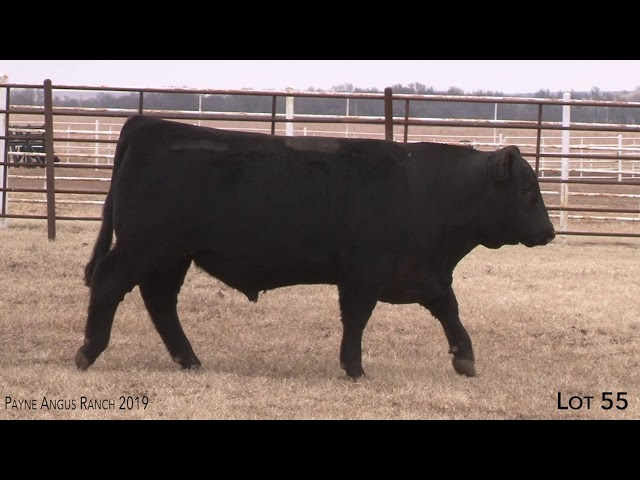 Payne Angus Ranch Lot 55
