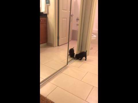 Affenpinscher puppy sees himself for first time