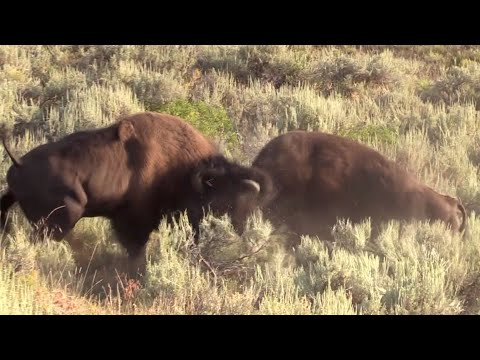 Bison in Yellowstone fighting - Canon VIXIA HF G40