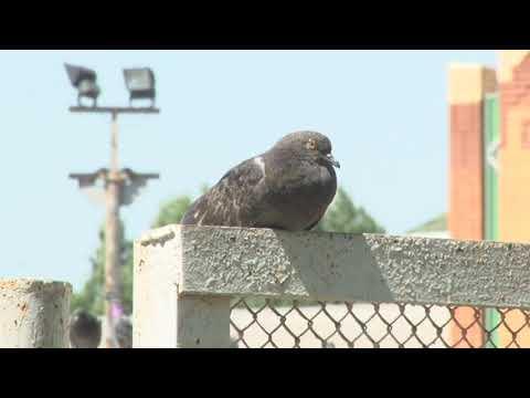 В Россоши массово умирают голуби