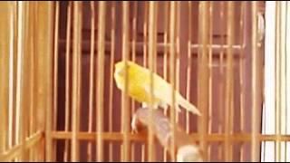 Video Burung Kenari Juara Gacor