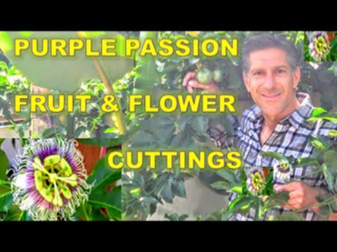 Purple Passion Fruit & Flowers |  Cutting | Propagation | Genetically Identical Plants