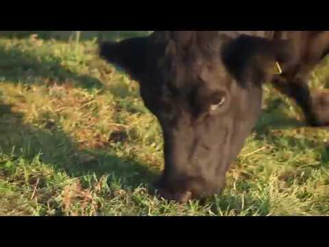 Grasende Swiss Black Angus Kuh