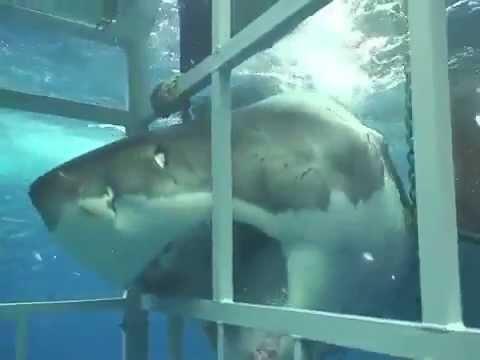 Monster Great White Shark Attacks Cage Diver