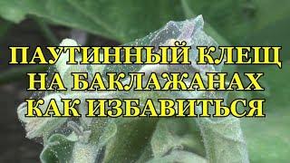 видео Как бороться с паутинными клещами в открытом грунте и на комнатных растениях