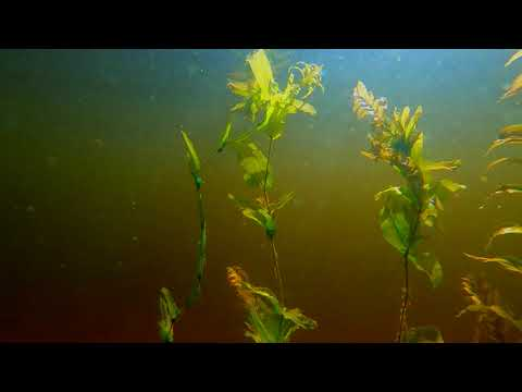 Underwater video - Beneath still waters, a fascinating, quiet and relaxing world emerges
