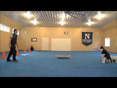 Paxson (Siberian Husky) Dog Training Demonstration Minneapolis
