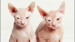 top expensive cat breeds