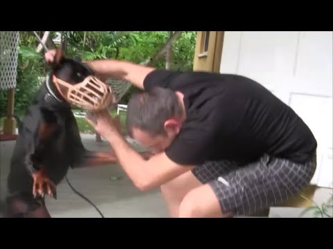 Aggressive Doberman Pinscher bites people in the face! DANGE