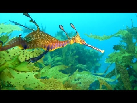 Diving Sydney, Port Jackson Sharks and Weedy Sea Dragon