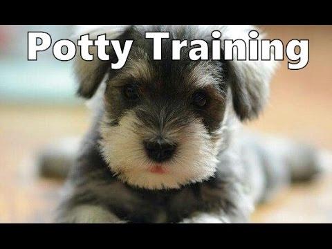 House training miniature dachshund