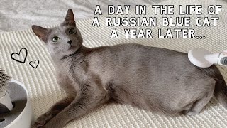 A Day in the Life of a Russian Blue Cat | A Year Later… Sebastian Edition