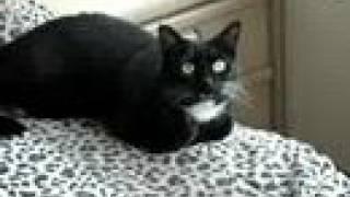 Meowing Tuxedo Cat