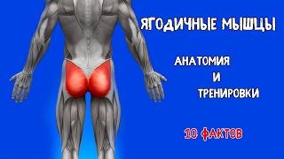 ЯГОДИЧНЫЕ МЫШЦЫ. 10 Фактов. Анатомия и Тренировки