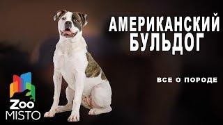 Американский бульдог - Все о породе собаки | Собака породы американский бульдог