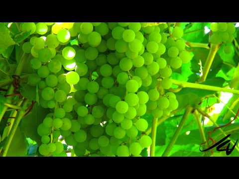 The Grape Patch -  picking seedless table grapes in Kelowna -  YouTube