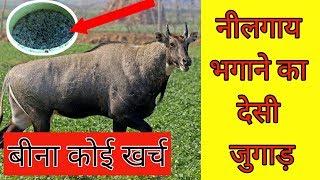 नीलगाय भगाने का देसी जुगाड़    nilgai bhagne ka desi jugad    innovative farmers