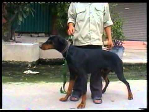 Dạy chó căn bản phục tùng