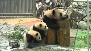 Panda family around the log 2011/1/6 丸太の周りで遊ぶ海浜、陽浜と良浜お母さん thumbnail