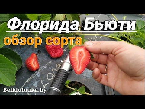 Сорт клубники Флорида Бьюти 🍓 НСД. Belklubnika.by