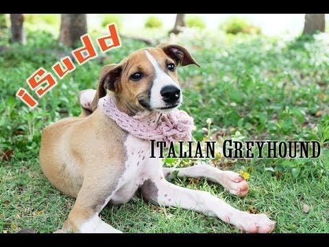 อิตาเลียน เกรย์ฮาวน์ (Italian Greyhound)