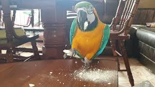 Что будет если дать попугаю Ара кусочек мела?