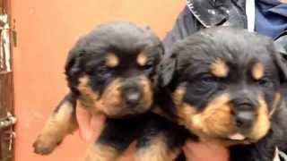 Macar Rottweiler Yavruları