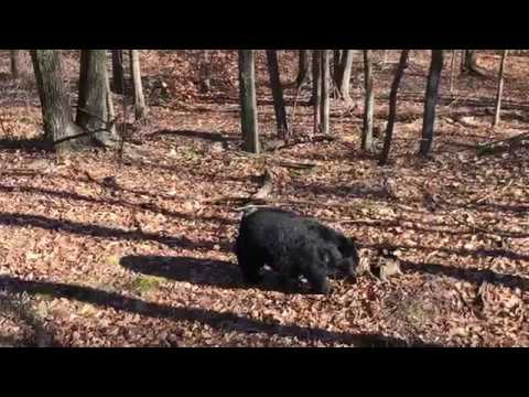 Bear Wellsboro 11272017